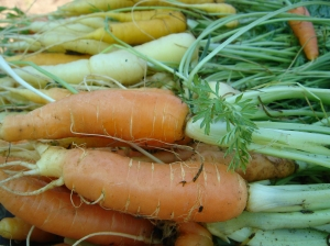 Carrots at Love Apple Farms~Jessica Largey